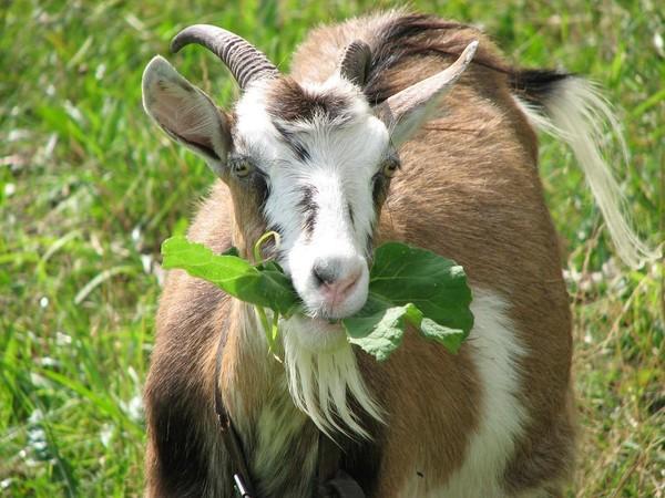 Корма для коз