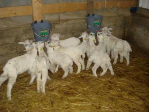 Кормление коз зимой
