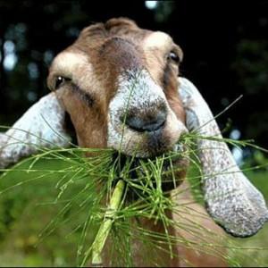 Кормление коз летом