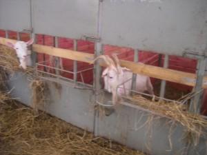 кормление козы после окота