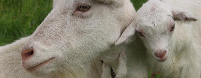 Содержание молочных коз
