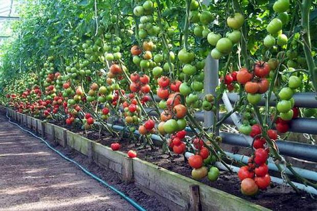 мало помидор в теплице