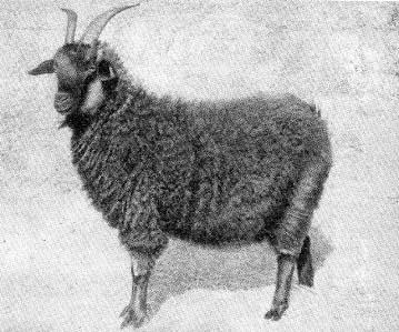 Разведение пуховых коз