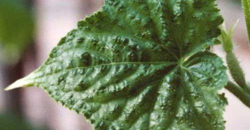 Почему скручиваются листья огурцов