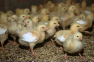 Болезни цыплят бройлеров