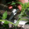 Пасынкование помидор в теплице фото