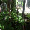 Пасынкование томатов в теплице фото