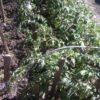 Пасынкование томатов фото