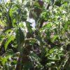 Полив помидор в открытом грунте