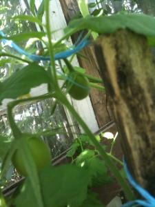 Как пасынковать томаты фото