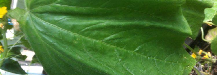 Почему вянут листья огурцов?