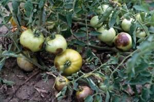 Фитофтора на помидорах фото
