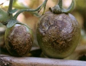 Фитофтороз на томатах фото