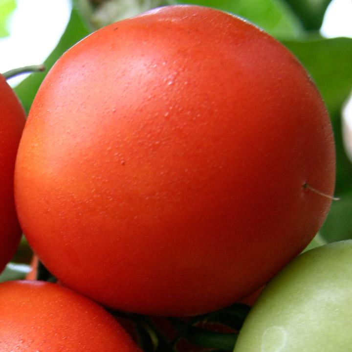 Низкорослый томат: Белый налив