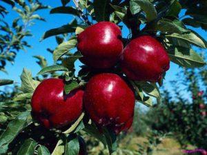 Посадка вишни весной и осенью