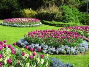 Тюльпаны, цветник