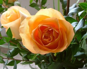 Чайная роза: Выращивание, уход и фото