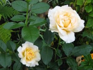 2 чайные розы фото