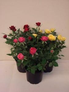 Кордана роза фото