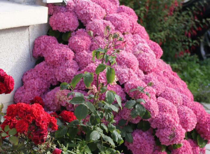 Гортензия садовая: посадка и уход, фото