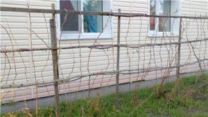 Как подвязывать виноград к шпалере?