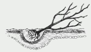 Прикопка вишни