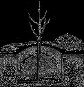 Посадка груши весной
