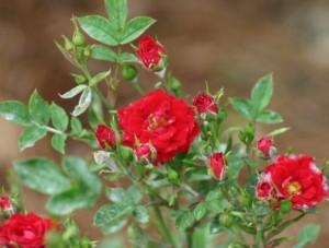 Роза Микс Фото