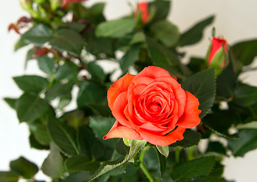 Роза Кордана Микс в домашних условиях