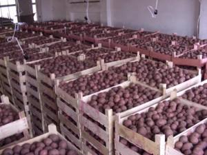 Температура хранения клубней картофеля