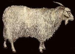 Придонские козы фото
