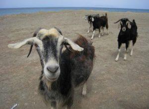 Греческие козы фото