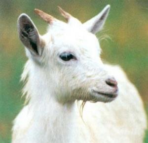 Русские козы