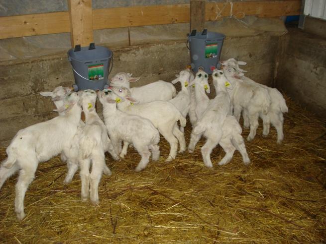 Уход за козами в домашних условиях