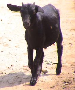 Бенгальская порода коз фото