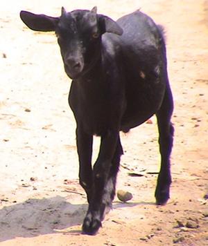 Бенгальская порода коз