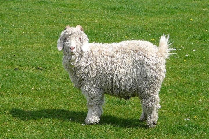 Кашмирская порода коз