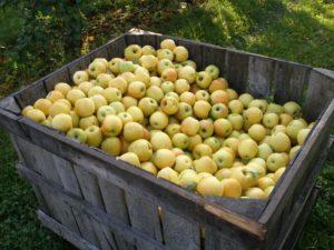 Условия хранения яблок