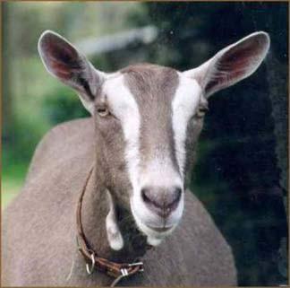 Тоггенбургская порода коз