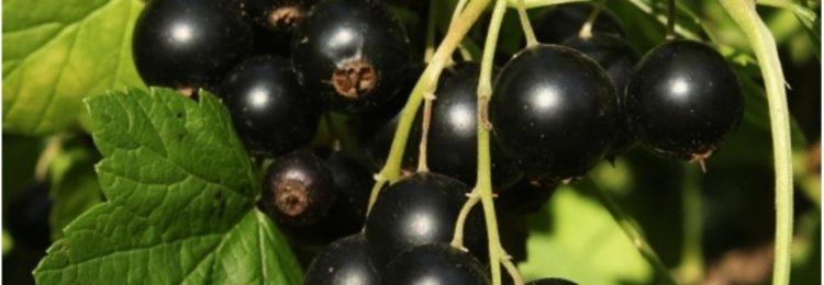 Подрезка чёрной смородины весной и осенью
