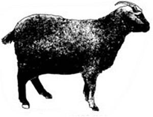 Ферганские козы