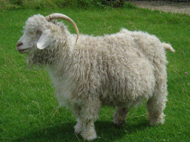 Ангорская порода коз фото