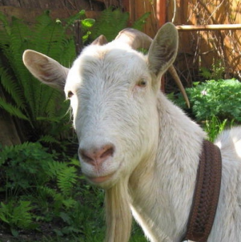 Русская порода коз