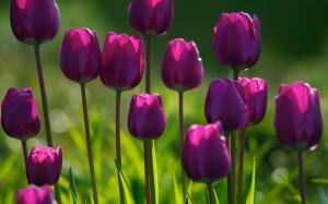 Тюльпаны весной: посадка и уход