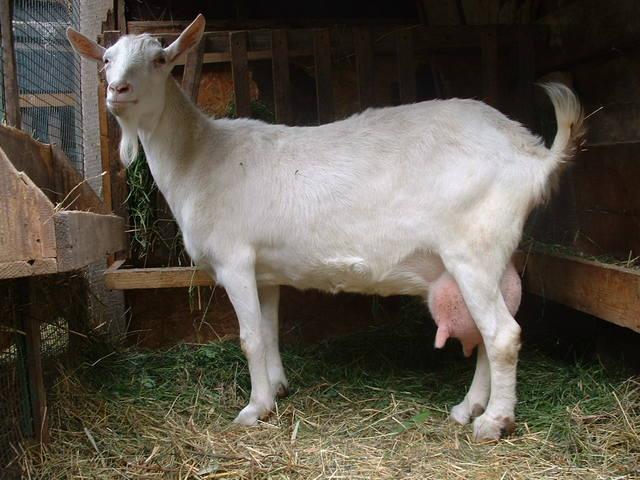 Зааненская порода коз