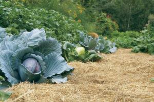 Мульчирование почвы на огороде