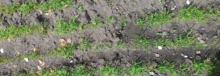 Выращивание укропа в открытом грунте