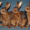 Бельгийский заяц