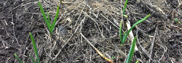 Уход за чесноком весной после зимы