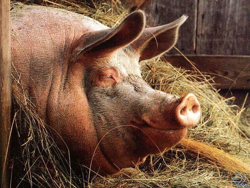 Болезни свиней: симптомы, лечение